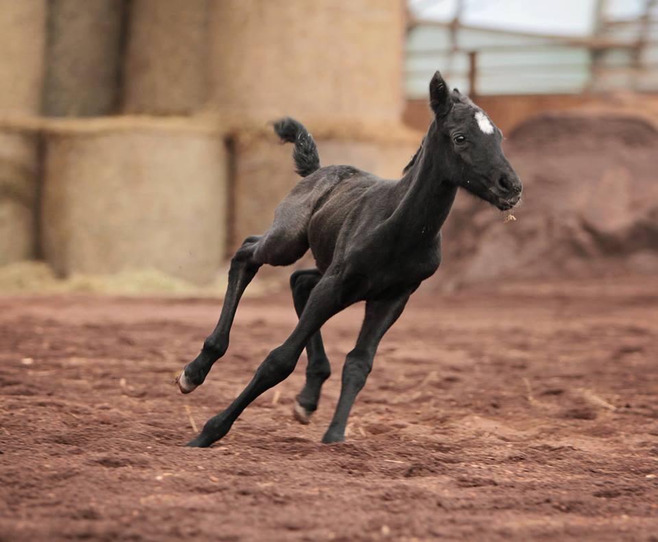 Maestoso Valdamora galloping.jpg