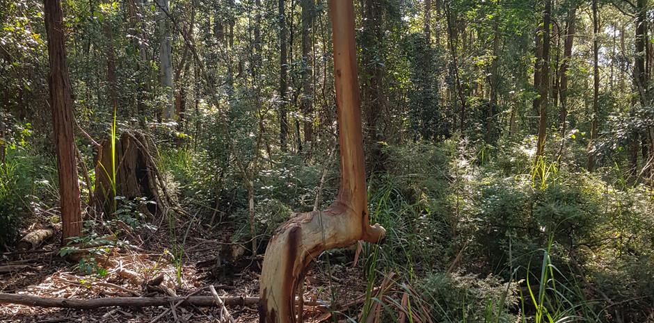 Watagans bush