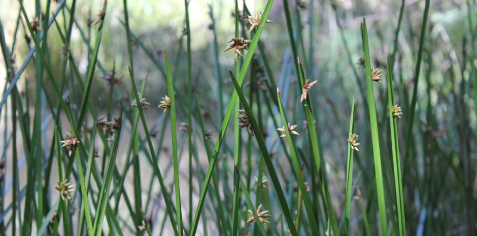 Watagans pond grass