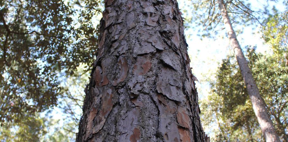 Watagan Tall Tree