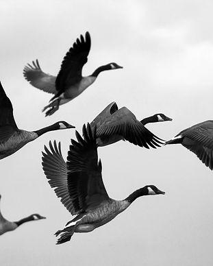 geese-1990202.jpg