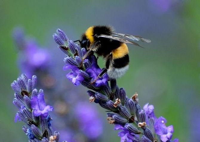Bee%20lavender_edited.jpg