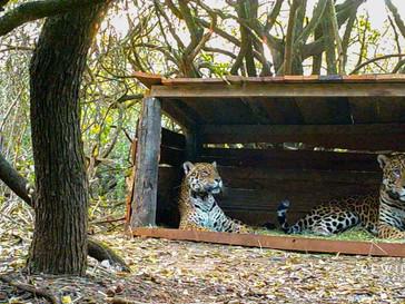 Se juntaron por primera vez un yaguareté silvestre y uno en cautiverio
