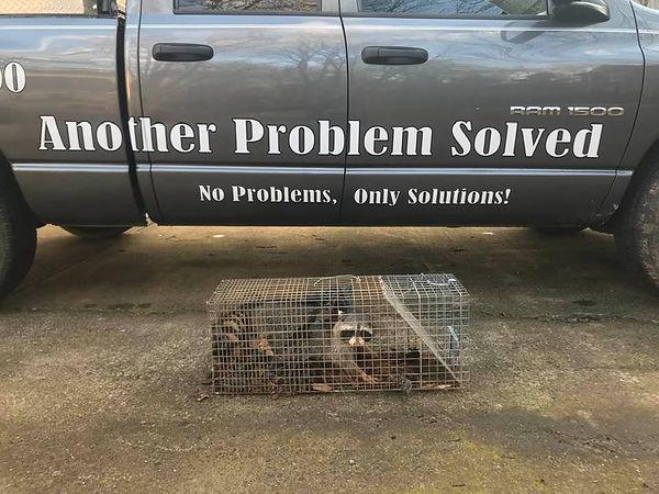 Raccoon next to truck.jpg