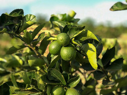 Boost your immunity with limes