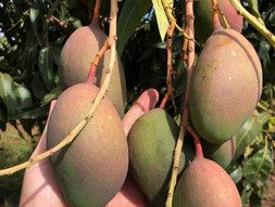 More than delicious, Magoes are impressive nutritional fruits