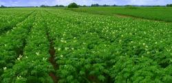 картофель-цветет