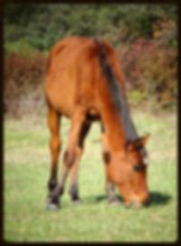 pur sang arabe étalon équitation sport loisir enfants activités équitation aude 11350 balades cso dressage pension débourrage
