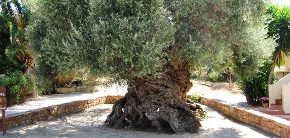 """Le panneau d'information local souligne que l'histoire de l'olivier et de l'huile d'olive sont étroitement liées à l'histoire crétoise, aussi bien en ce qui concerne la mythologie, les traditions, la religion et l'art qu'à la vie sociale et économique de l'île et cela depuis 9000 ans semble-t-il. De nos jours, les oliveraies couvrent environ 1/4 de la superficie totale de l'île, dominant son environnement naturel et employant la quasi-totalité de la population agricole locale. Parmi les oliviers de Crète, quelques-uns peuvent être considérés comme """"Monumentaux"""". Celui-ci se situe à une altitude de 272 m, au village de Pano Vouves, (Kolimbari) dans l'aire du musée de l'olive. Il a été déclaré monument de la nature en 1997 par décision du secrétaire général de la région de Crète. C'est d'ailleurs une branche de cet olivier qui a été prélevée lors de la cérémonie du marathon masculin des Jeux Olympiques d'Athènes en 2004. Un hommage symbolique lui est également rendu à l'automne lors de la la récolte de ses fruits de manière traditionnelle, c'est-à-dire à la main. D'après les documents présentés sur place, et d'autres études de ses caractéristiques, cet olivier est considéré comme l'un des plus vieux au monde. Avec une hauteur de 6,50 m, il a un diamètre de 10,30 m et un tronc creux dont la base est de 4,50 m. Le périmètre du feuillage atteint 25,80 m. Son âge est estimé à 3000 ans, soit environ 1000 ans avant notre ère, ce qui situe son origine au début de la période grecque. Cependant, la concurrence est rude et l'olivier de Kavousi détient aussi des records d'ancienneté et de taille."""