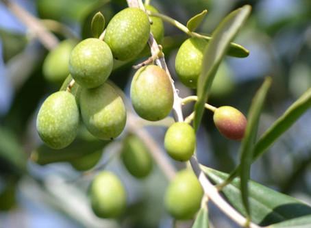 Ah that Cretan olive oil…