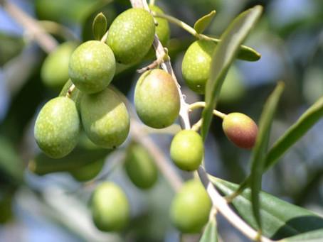 Ah l'huile d'olive Crétoise...