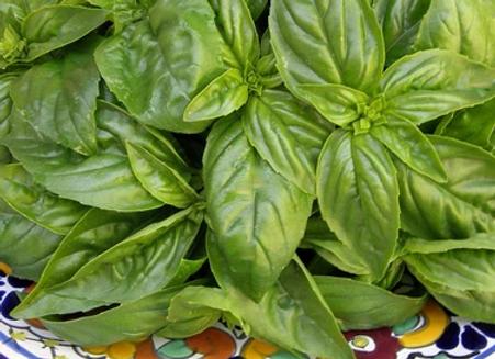 Italian Genovese Basil