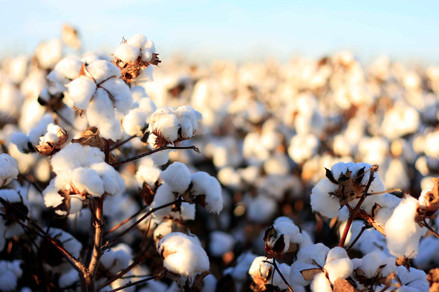 cotton_bolls_7-Textile-Industery-commerc