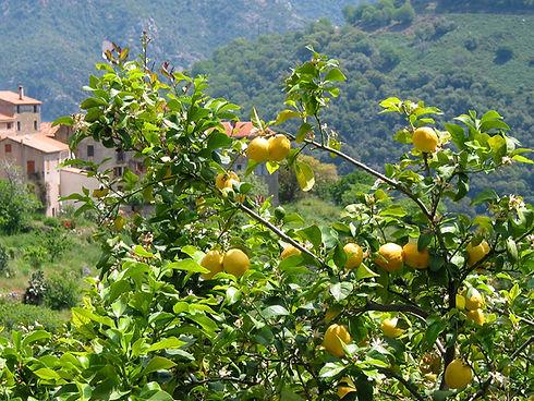 Citrus_x_Limon_JPG1.jpg