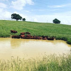 pond cows taking a dip 2019.jpg