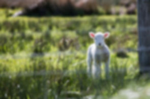 Lamb_pasture.jpeg