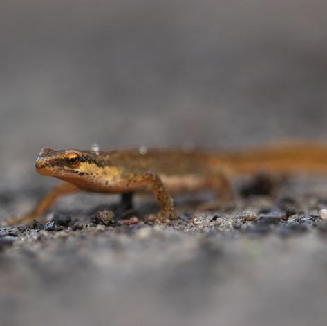 Salamander Regte Heide