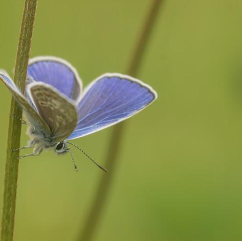 Icarusblauwtje Biest Houtakker