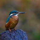 IJsvogel, fotohut in Drunen