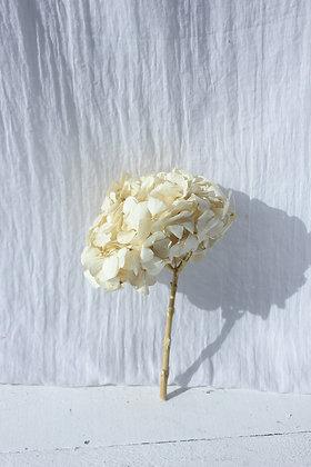 Hortensia stabilisée blanche