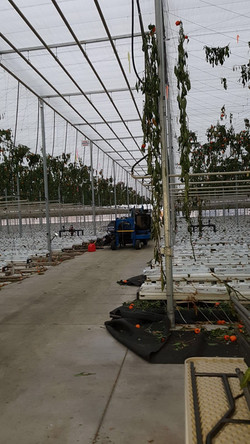 removing old crop in greenhouse