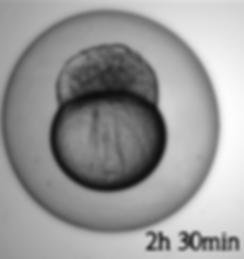 Embryo utvikling_2h30min.png