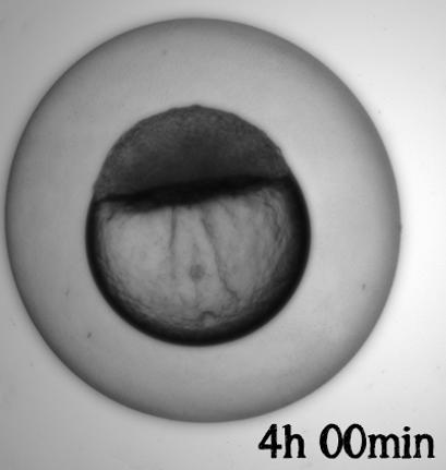 Embryo utvikling_4h.png