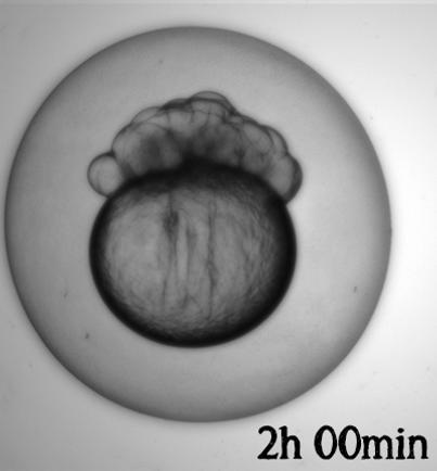 Embryo utvikling_2h.png
