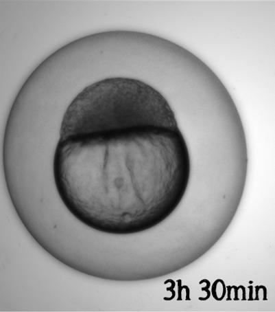 Embryo utvikling_3h30min.png