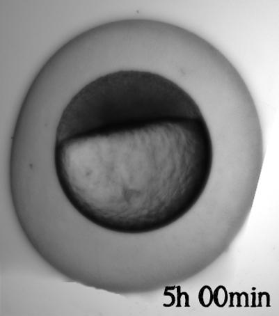 Embryo utvikling_5h.png