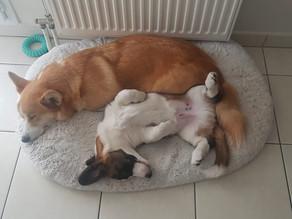 Avoir un second chien à la maison