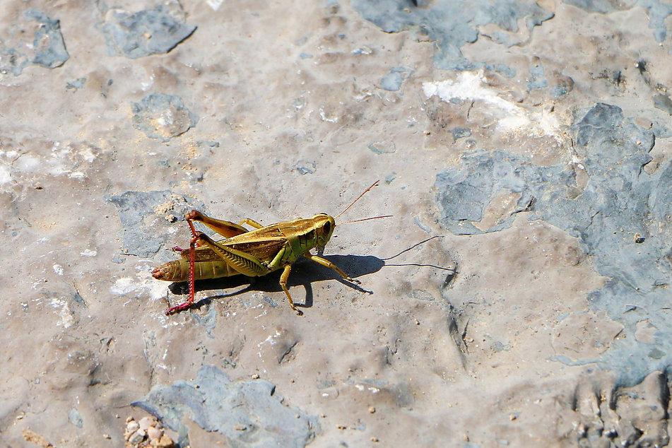 Red-legged Grasshopper - Edited.jpg