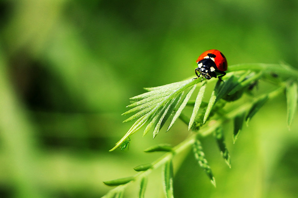 Seven-spotted Lady Beetle - Edited.jpg
