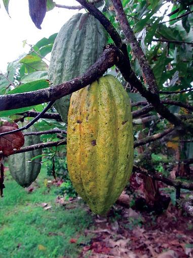 Organic Cocoa Pod - 4mul8 Organics