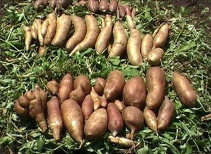 Yacon 3 - 4mul8 Organics.jpg