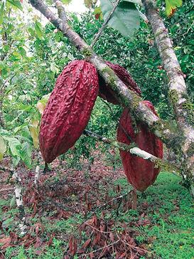 Organic Cocoa Tree Pod - 4mul8 Organics