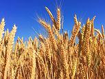 Organic Wheat - 4mul8 Machinery.jpg