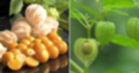 Golden Berries 1 - 4mul8 Organics.jpg