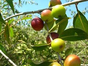 Organic Camu Camu - 4mul8 Organics