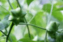 Sacha Inchi 3 - 4mul8 Organics.jpg
