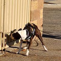 Personal dog Hotwired Jack, TT CGC UKC UWPV UWPCH UWPO NACSW NW1, NW2