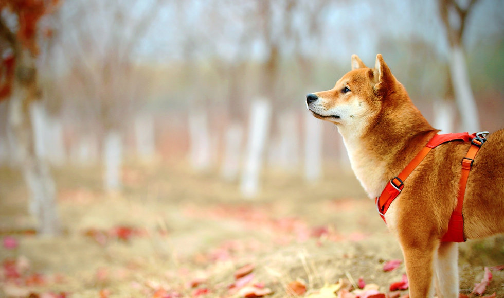 Shiba inu in red harness