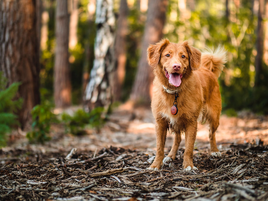 toller in forest
