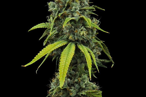 Durango Cannabis Co. - Burmese Kush - 7g