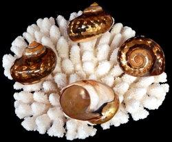 Copper Semanticus (EA)