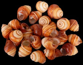 Brown Land Snail