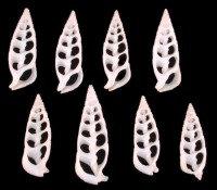 Center White Cerithium (hun)