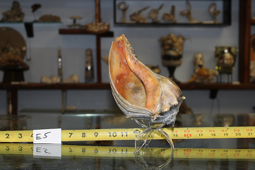 Conch/Whelk Shell