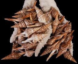 Turris Shells (hun)