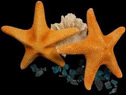 Jungle Starfish (EA)